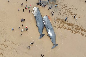 beached whales in Europe