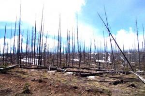 Yellowstone fire aftermath