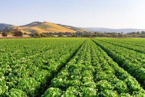 CA produces nearly half of all US fruits, nuts and vegetables, and nearly all of the US supply of artichokes, walnuts, kiwis, plums, celery, garlic, cauliflower, spinach, carrots, and host of other foods – $35 billion worth.