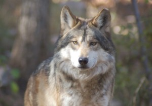 Mexican Gray Wolf 11-06 2 TG